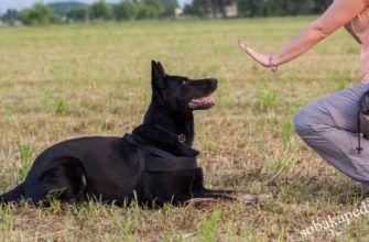 Как научить собаку команде стоп