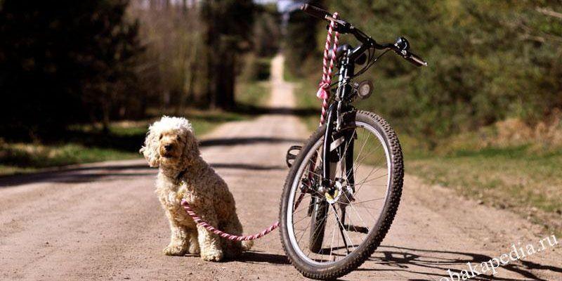 Езда с собакой на велосипеде: как кататься на велосипеде с собакой