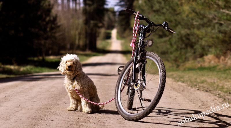 Как обучить щенка бежать за велосипедом