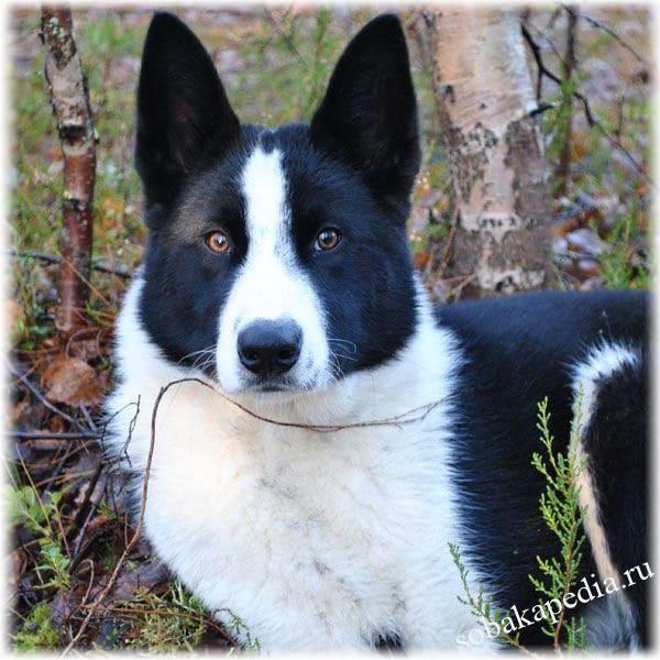 Карельская медвежья собака: фото, описание породы, отзывы