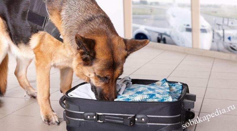 Как научить собаку искать предметы по запаху?