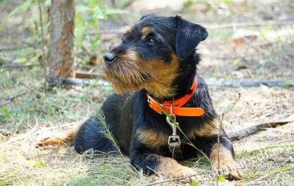 Немецкий ягдтерьер собака. Описание, особенности, виды, уход