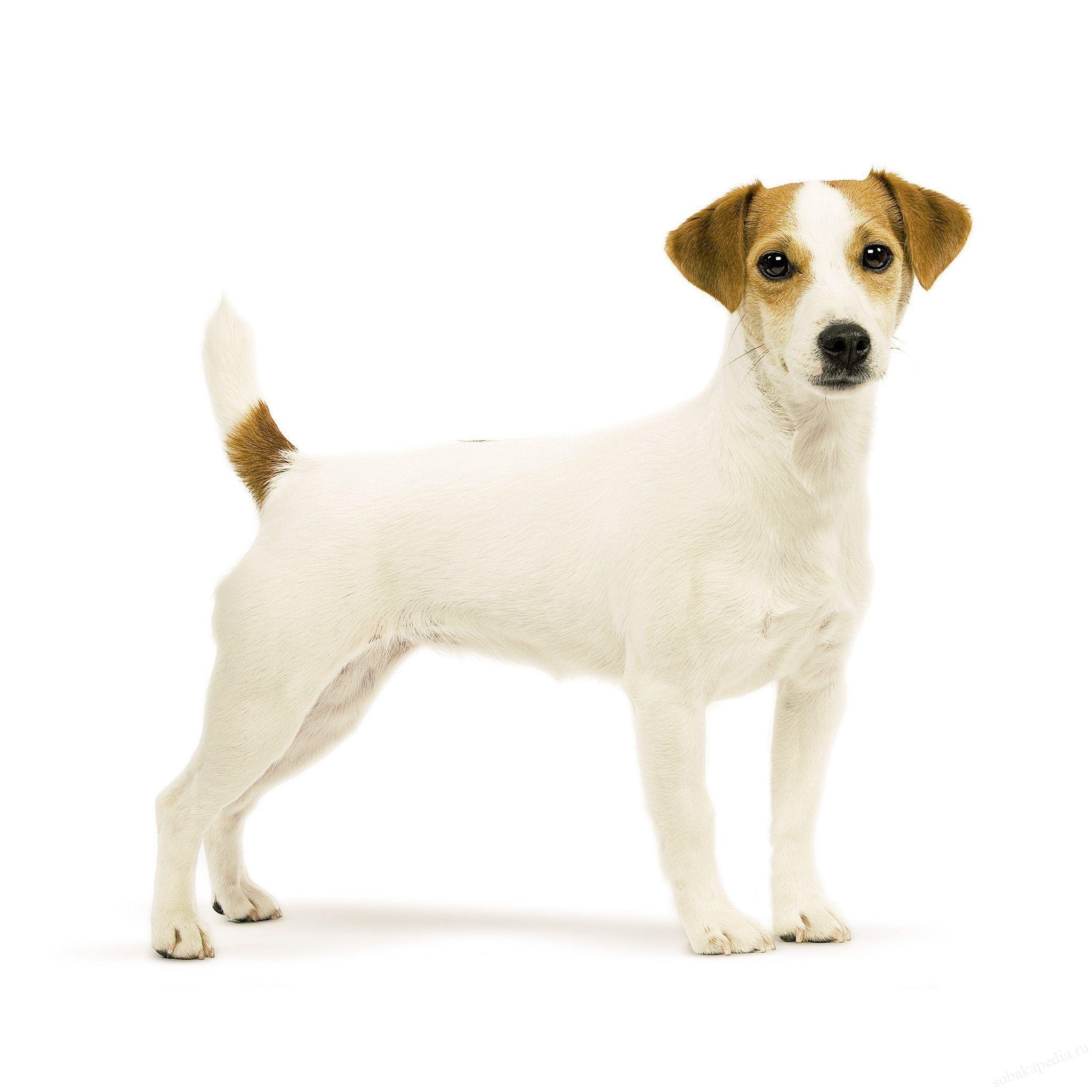 Парсон рассел терьер - описание породы собаки, характер