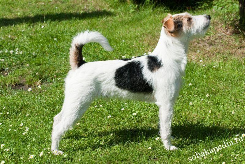 Парсон-рассел-терьер: характеристики породы собаки, фото