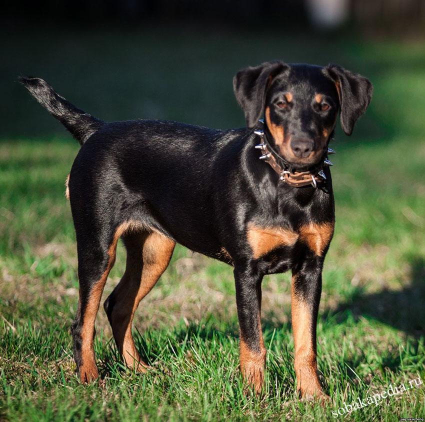 Порода собак немецкий ягтерьер - описание, характер