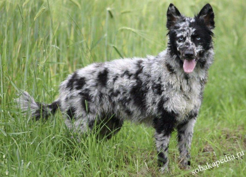 Порода Муди -Венгерская пастушья собака