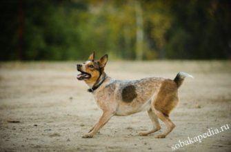 Австралийская короткохвостая пастушья собака - фото, цена щенков, описание породы