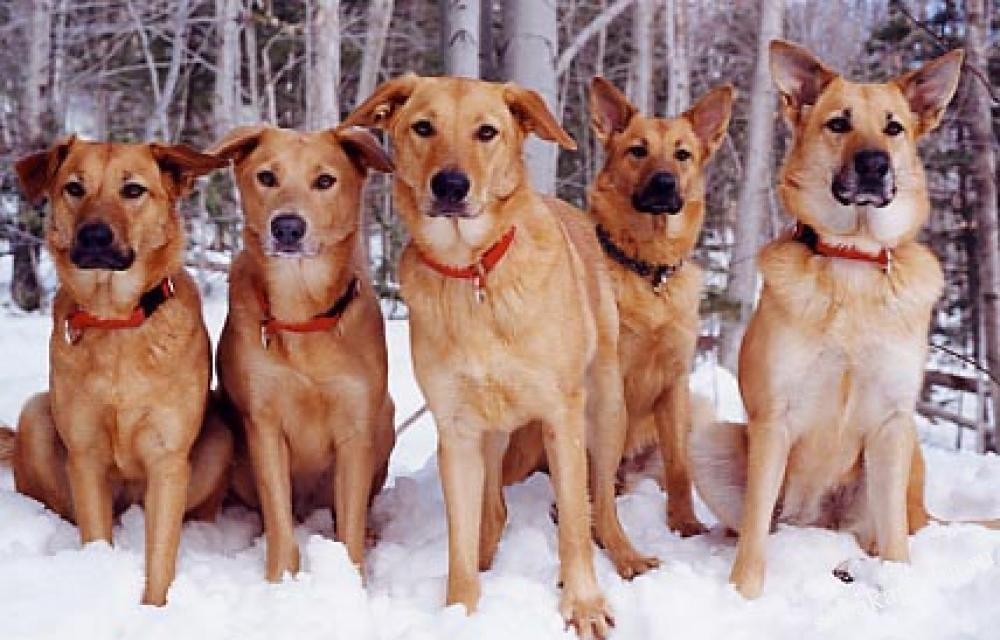 Порода собаки чинук: характеристики, фото, характер, правила ухода