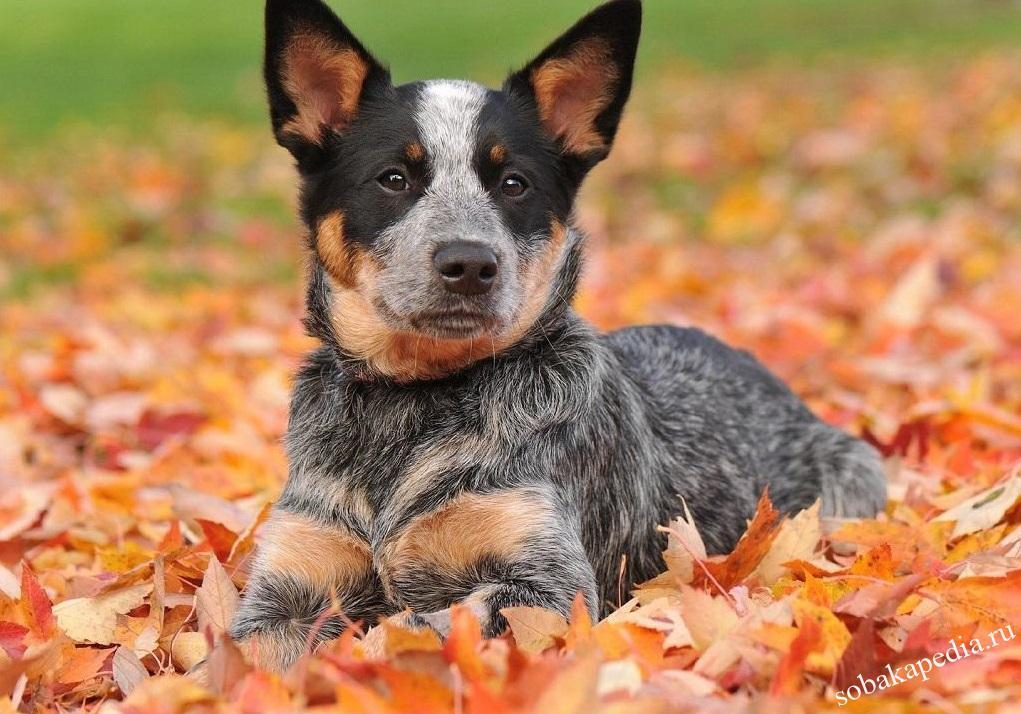 Австралийская короткохвостая пастушья собака: история