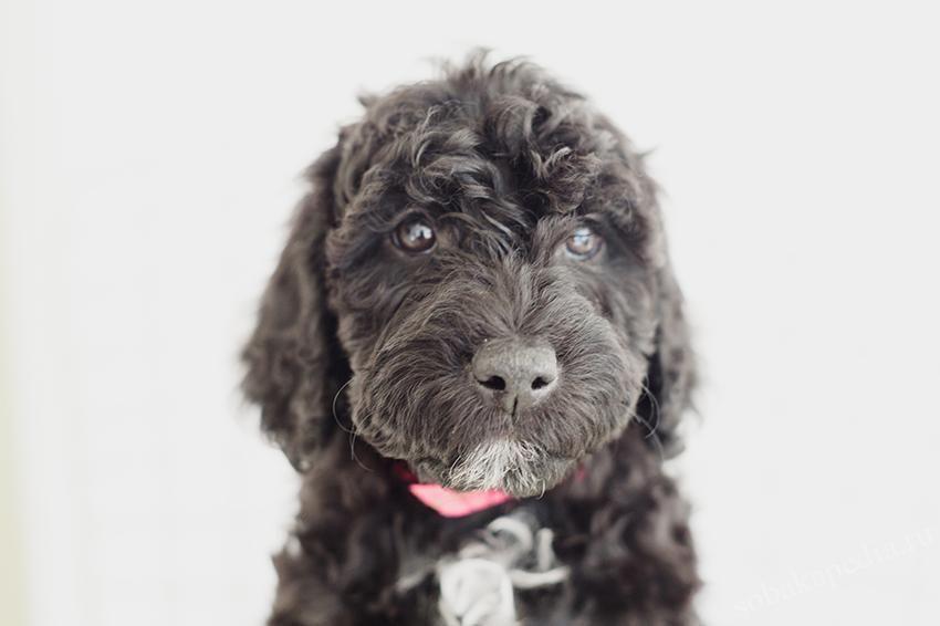 Порода собак барбет - описание, характер, характеристика, фото