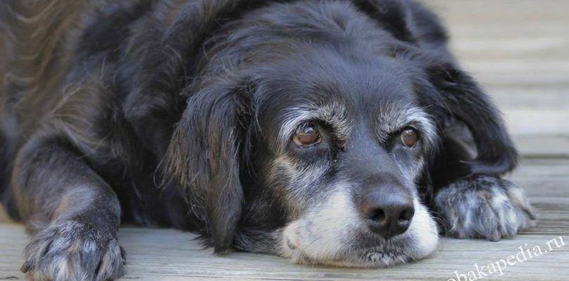 Болезни пожилых собак: виды, клиническая картина, методы лечения
