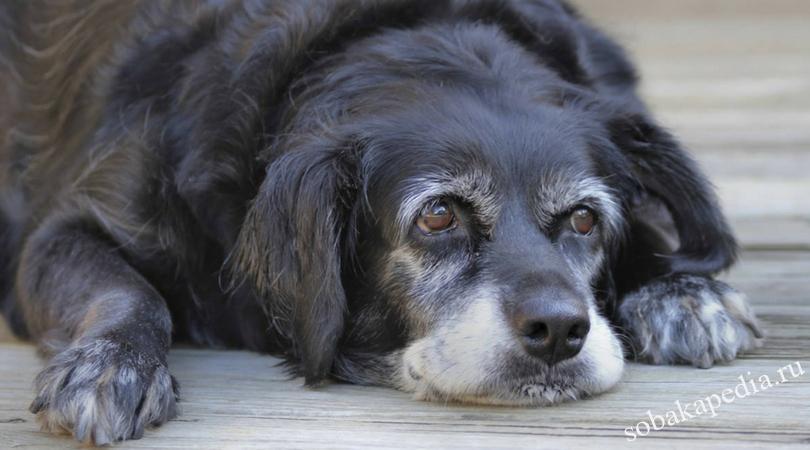 Болезни пожилых собак. Диета пожилых собак
