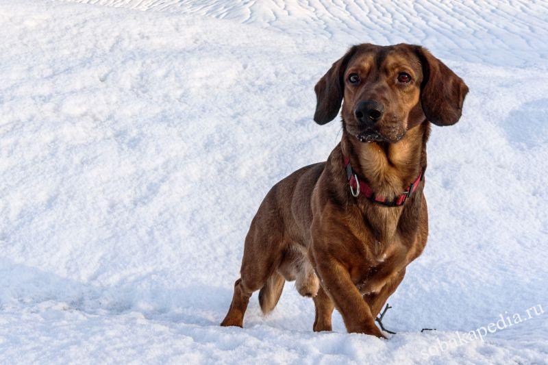 Порода собаки альпийская таксообразная гончая: характеристики