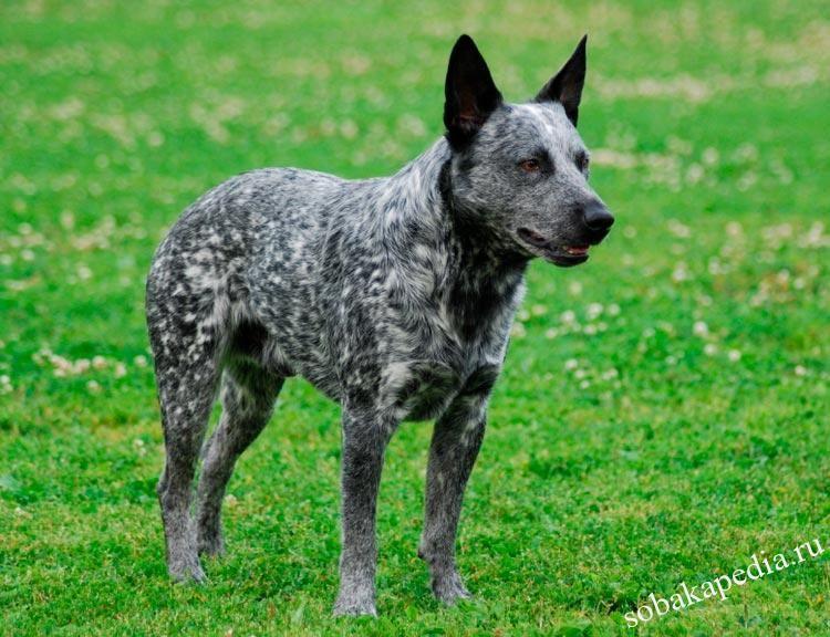 Австралийская короткохвостая пастушья собака: обзор породы с фото