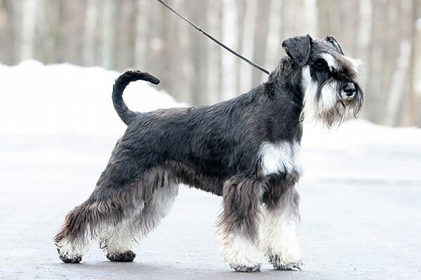Цвергшнауцер описание породы собак, характеристики, внешний вид