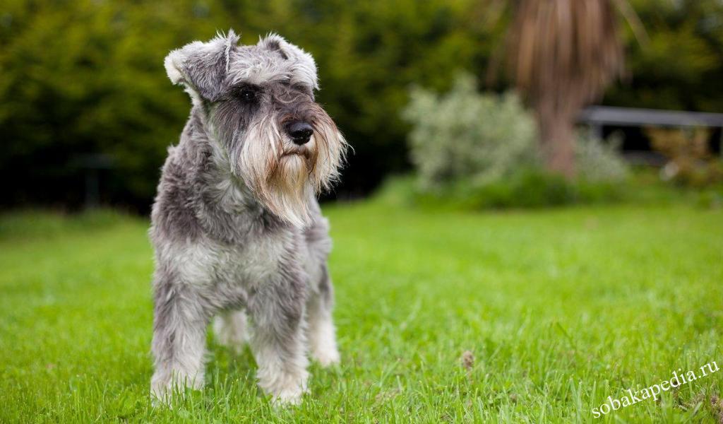 Цвергшнауцер: все о собаке, фото, описание породы, характер, цена