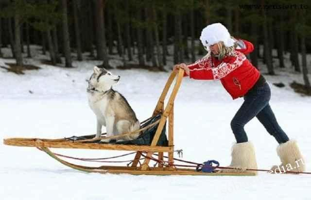 Как научить собаку тянуть повозку или упряжку