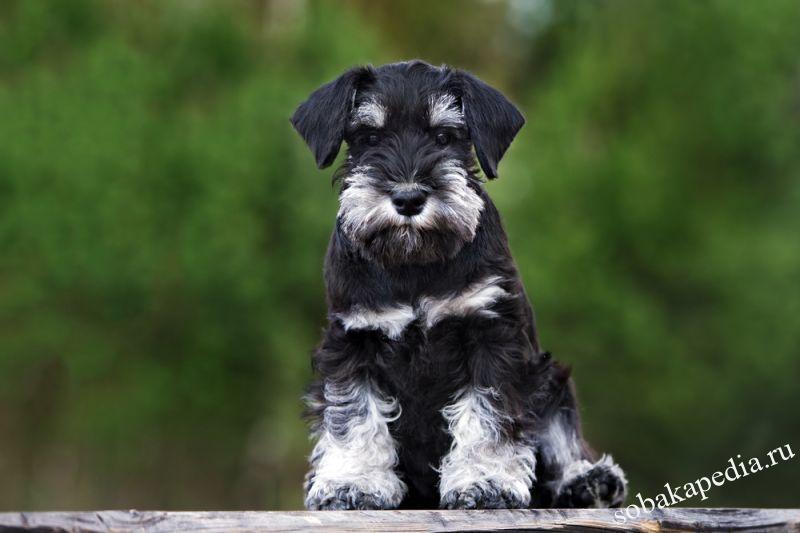 Порода собаки цвергшнауцер: характеристики, фото, характер