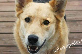 Порода собак Чинук. Описание, уход и характер собаки