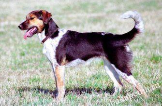 Чешская пестрая собака — обзор породы