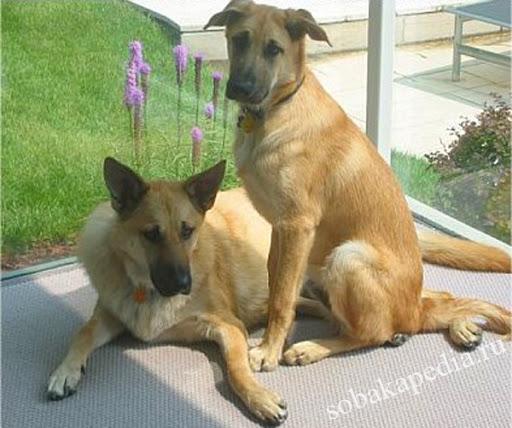 Чинук - самая редкая порода собак