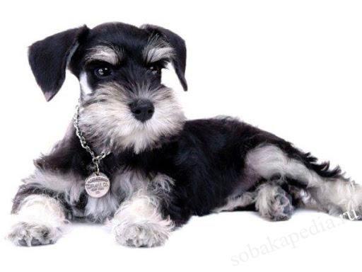Цвергшнауцер: фото собаки, цена, описание породы, характер, видео