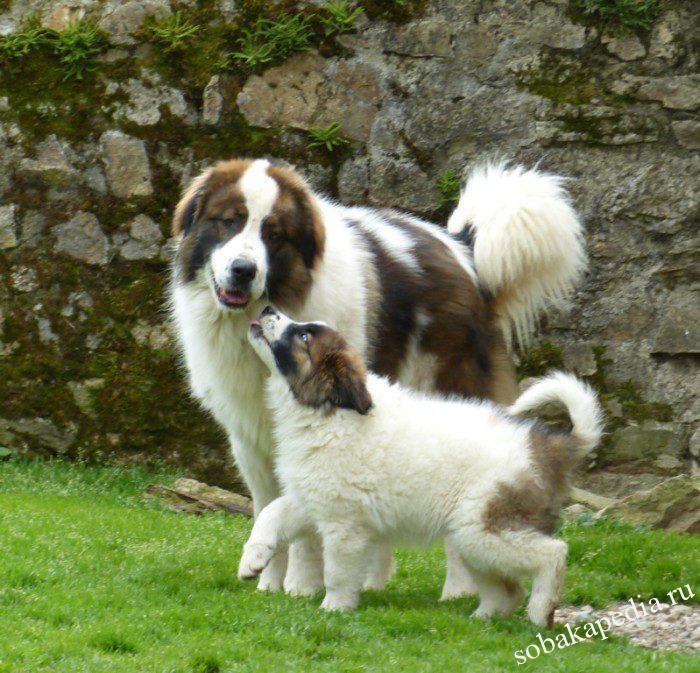 Порода торньяк – фото собак-пастухов. Внешний вид собак и щенков