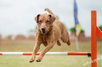 Как научить собаку прыгать через барьер, команда Барьер