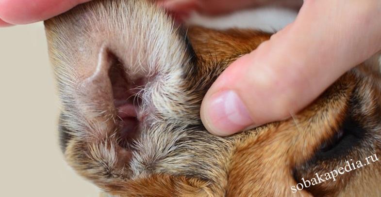 Отодектоз или ушной клещ у собак: симптомы и лечение
