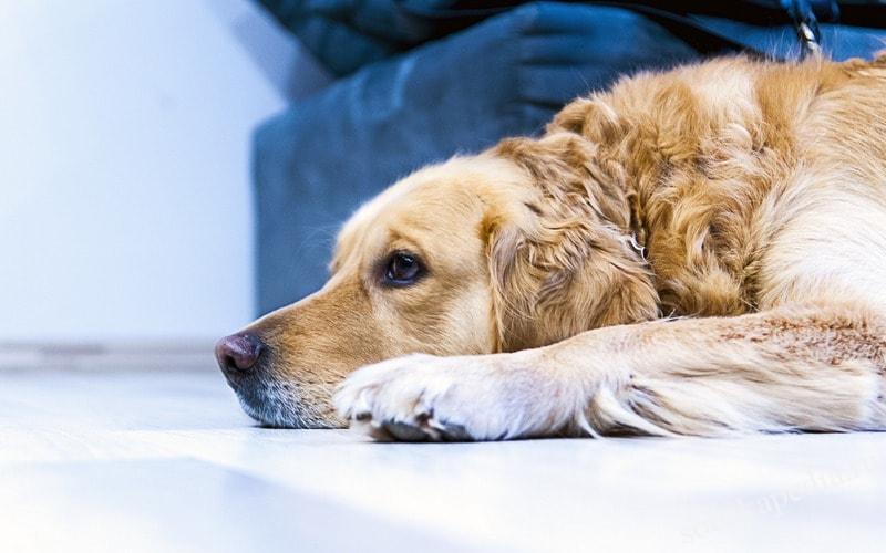 Как вывести запах собачьей мочи с ковра