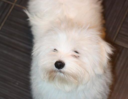 Как отбелить белую шерсть собаки