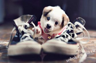 Как отучить щенка грызть ваши вещи