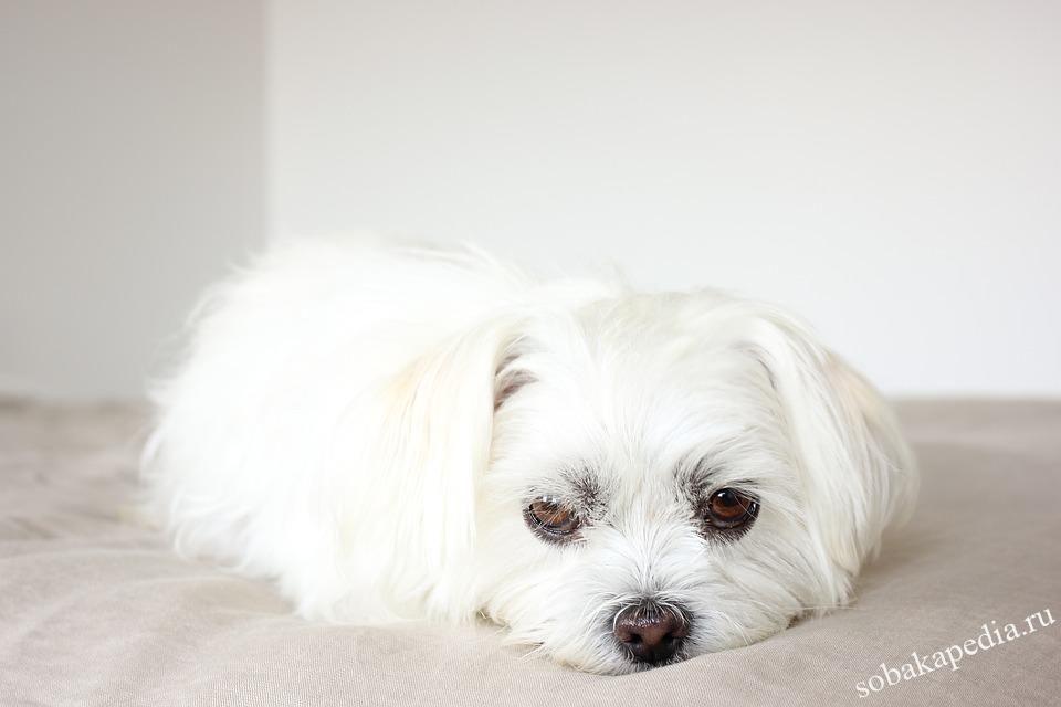 Уход за шерстью собаки белого или светлого окраса