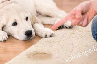 Как почистить ковер после собаки