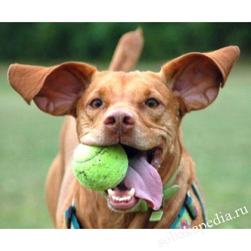 "Как научить собаку трюку ""поймай мяч"""