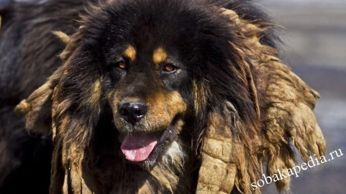Монгольская овчарка - банхар