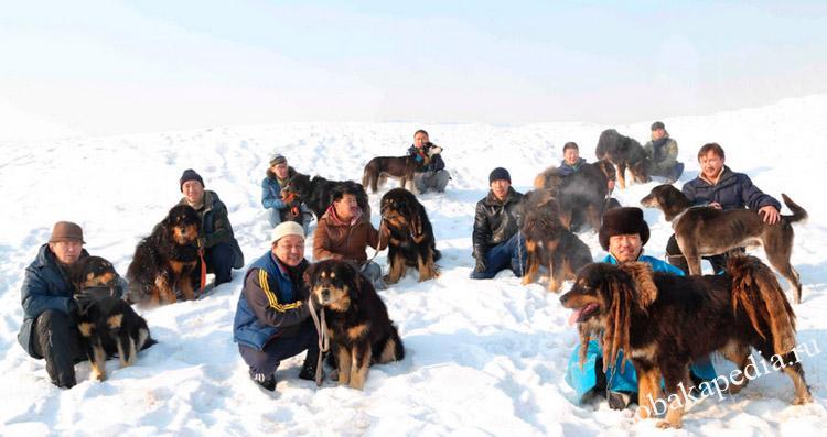 Банхар (Монгольская овчарка): описание породы