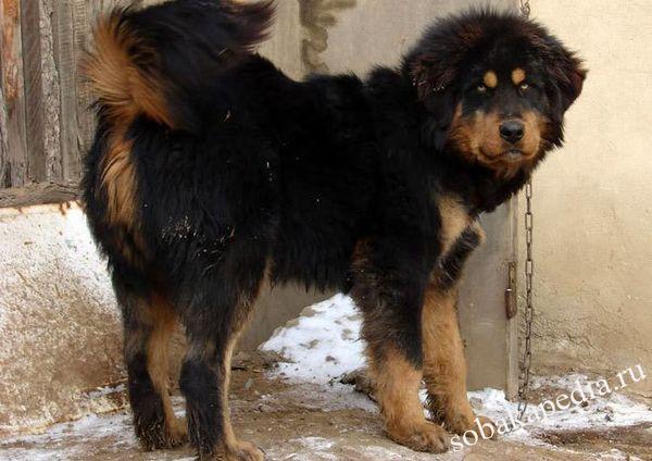 Монгольская овчарка: описание и характеристика породы