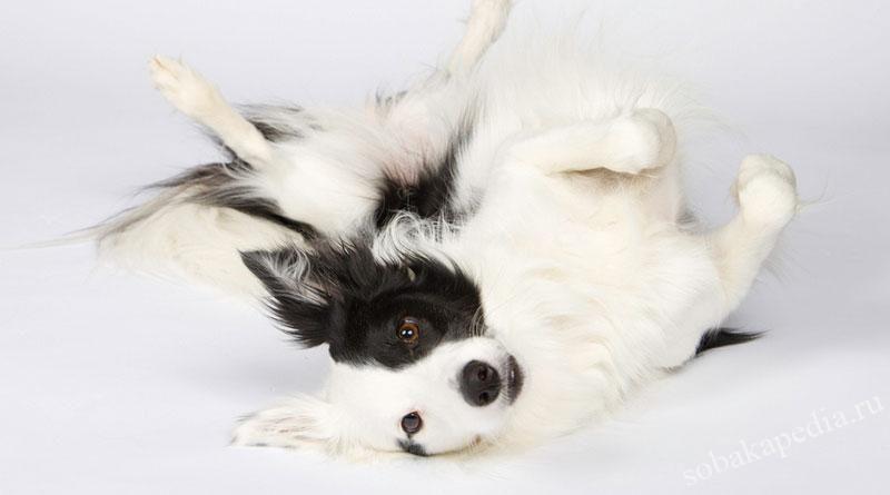 Как научить собаку команде Кувырок