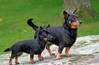 Ланкаширский хилер: описание породы собак