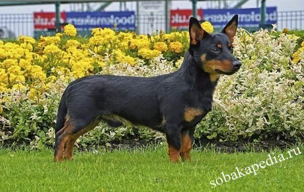Ланкаширский хилер собака. Описание, характер, особенности, уход и разведение