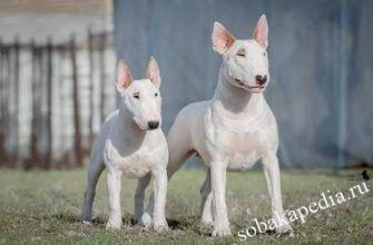 Миниатюрный бультерьер - декоративная порода собак