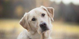 Диагностика и лечение вагинита у собак