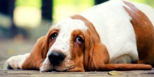 Глисты или гельминты у собак и щенков. Виды глистов