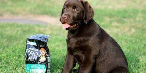 Сколько раз и чем кормить щенка лабрадора — пример рациона и запрещенные продукты