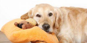 Что такое ложная беременность у собак — симптомы и лечение недуга