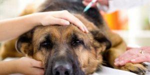 Послеродовая эклампсия (гипокальциемия) у собак — описание и лечение