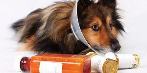 Аденовироз у собак - симптомы и лечние