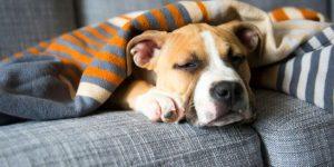 Стафилококк у собак: симптомы, осложнения, лечение и профилактика