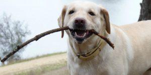Воспитание и дрессировка лабрадора с момента появления щенка в доме